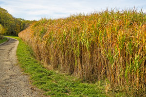 biorenewable resource switchgrass