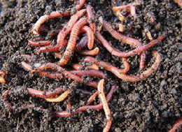 vermicomposting uses worms from your garden